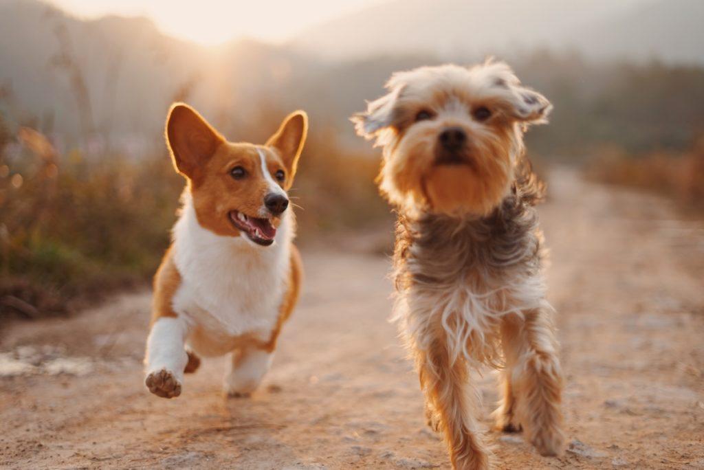 Hundar springer